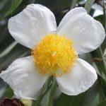 Cobra Saffron flower