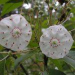 Mountain Laurel flower