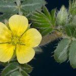 Puncture Vine flower