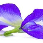 butterfly pea flower