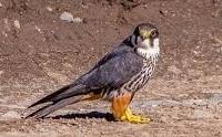 eurasian hobby bird