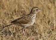 indian bush lark bird
