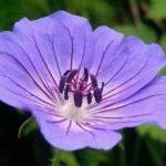 indigo flower